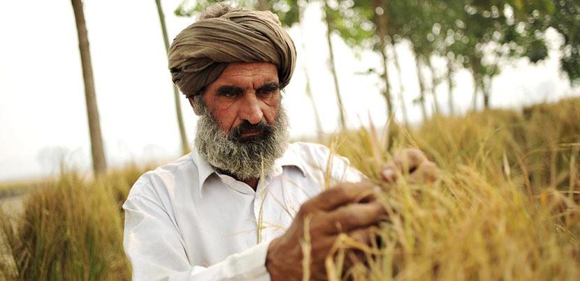 Rice farmer inspecting crop in field in Punjab.